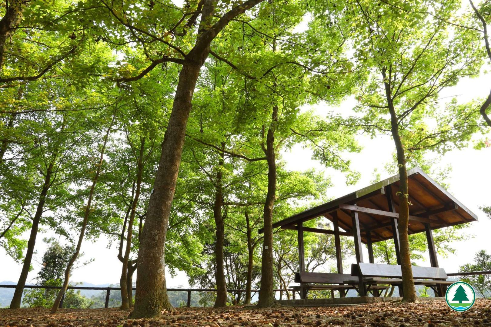 千島湖楓香樹